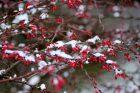 Dřišťál je v zimě krásný svými plody