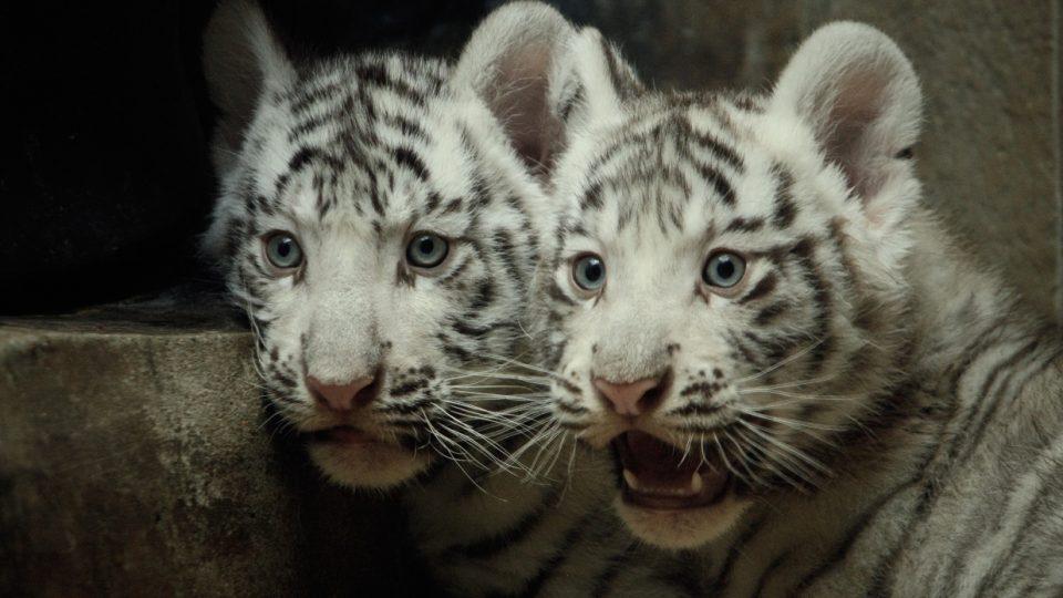 Mláďata bílých tygrů liberecké ZOO konečně dostanou svá jména. Stane se tak na slavnostním křtu v sobotu 21. května