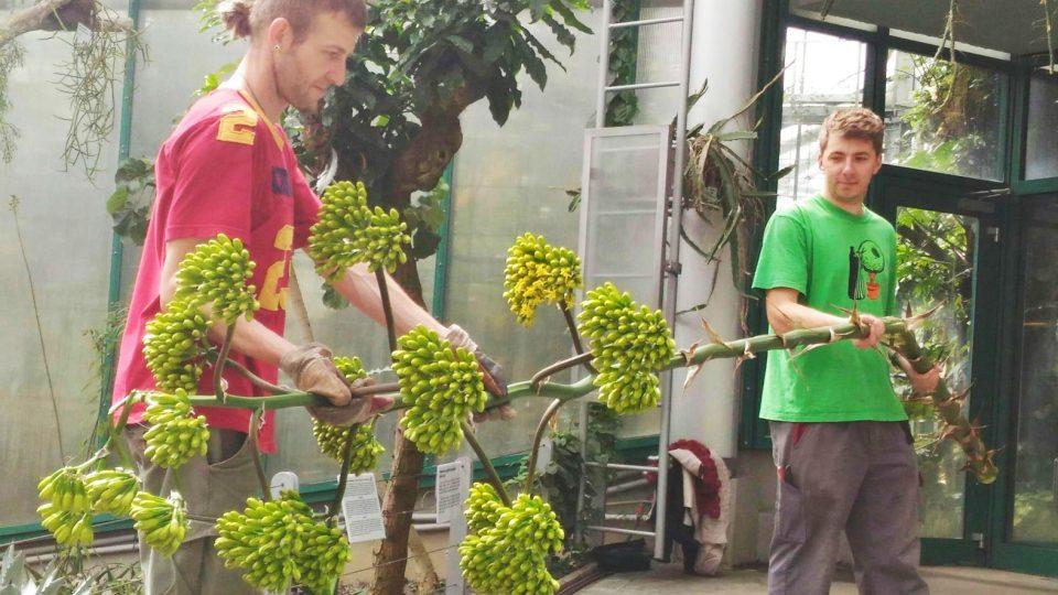 Dlouhý stvol vzácné agáve museli zahradníci v botanické odřezat, aby se mohli pokusit zachránit aspoň samotnou rostlinu