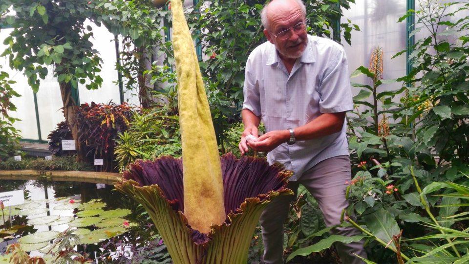 Ředitel liberecké botanické zahrady Miloslav Studnička se pokusil rostlinu ručně opylovat