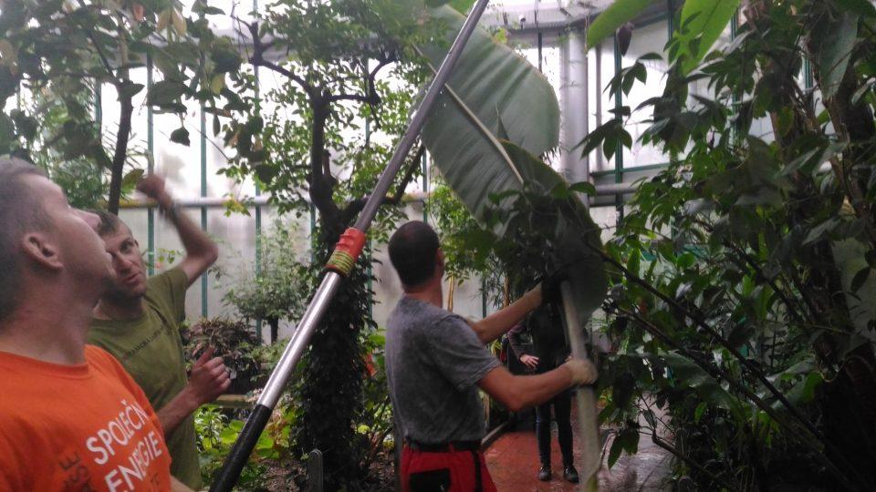 Kácení banánovníku v Liberci