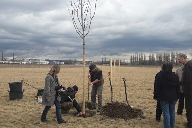 Takto probíhalo sázení stromu Olgy Havlové v Olomouci letos v polovině března  (ilustrační foto) | foto: Blanka Mazalová
