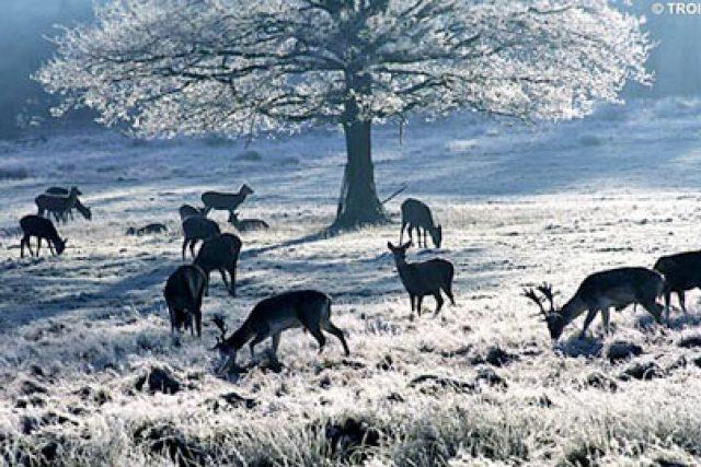 srnci v zimě