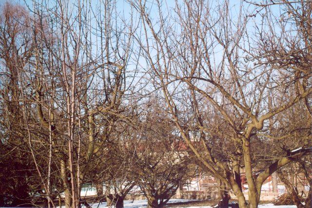 Ovocný strom před řezem