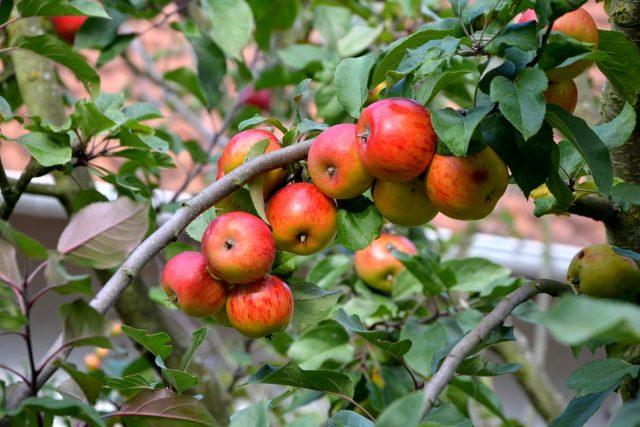 Jestli se v budoucnu chcete těšit z úrody, nesmíte podcenit ani začátky, tedy výběr a sázení stromku