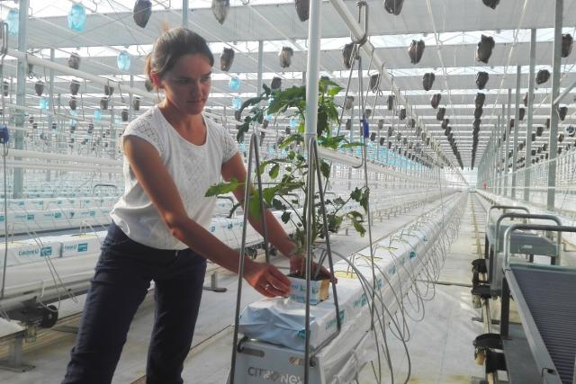 Ve polských sklenících pěstují rajčata, která mají zatím dostatek denního světla, speciální zástěny budou potřeba až na konci září