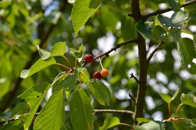 Většina stromků hlavních ovocných druhů, vyžaduje spíše slunné stanoviště