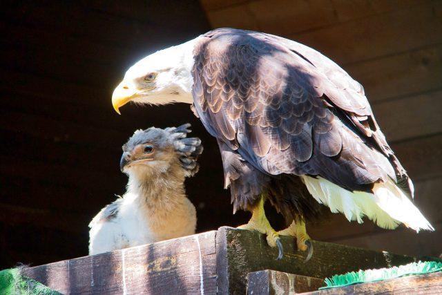 Hadilov písař získal adoptivní rodiče v liberecké zoo u orlů bělohlavých,  už teď je na první pohled znát,  jak jsou hadilov a orel výrazně vizuálně odlišní dravci   foto: ZOO Liberec