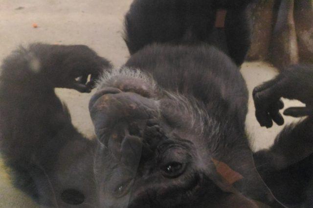 Šimpanz liberecké zoo
