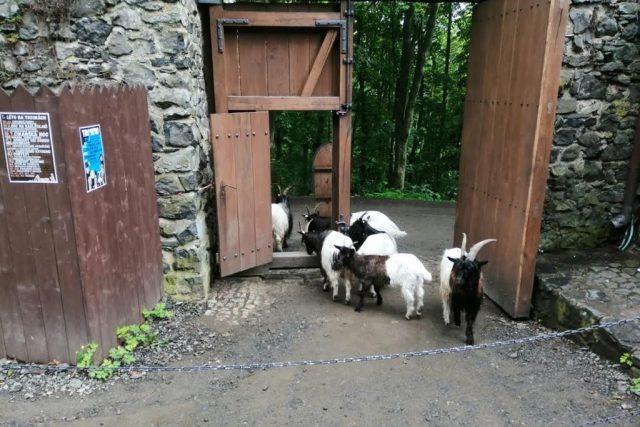 Kozy se občas zajdou podívat i do hradu