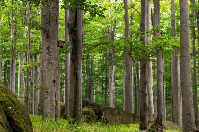Jizerskohorské bučiny poblíž Oldřichova v Hájích | foto: Profimedia