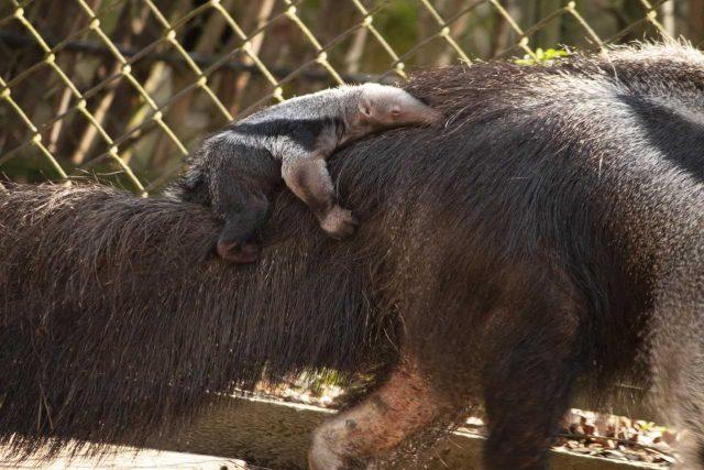 Malý mravenečník velký se narodil v liberecké Zoo | foto: Zoo Liberec