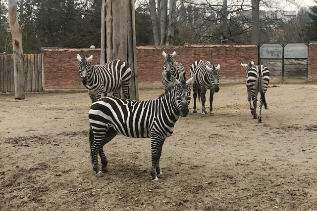Zebry bezhřívé v liberecké zoo. Tento poddruh zebry stepní chová jen 12 zahrad,  většinou ve střední Evropě | foto: Lucie Fürstová,  Český rozhlas,  Český rozhlas