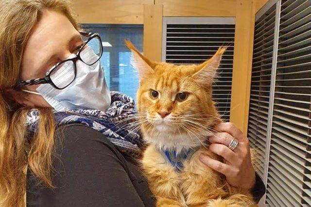 Kocour James Bond, terapeut (mainská mývalí kočka)