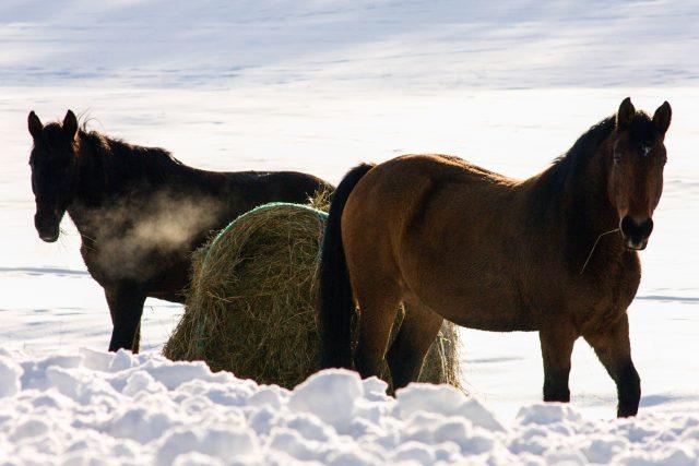 Koně v ohradách můžeme obdivovat, neměli bychom je ale krmit