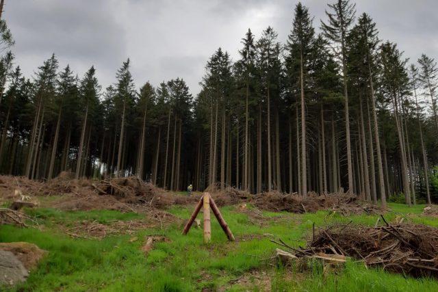 Lesníci v Jizerských horách těží napadené stromy a také staví nástrahy na kůrovce | foto: Šárka Škapiková,  Český rozhlas