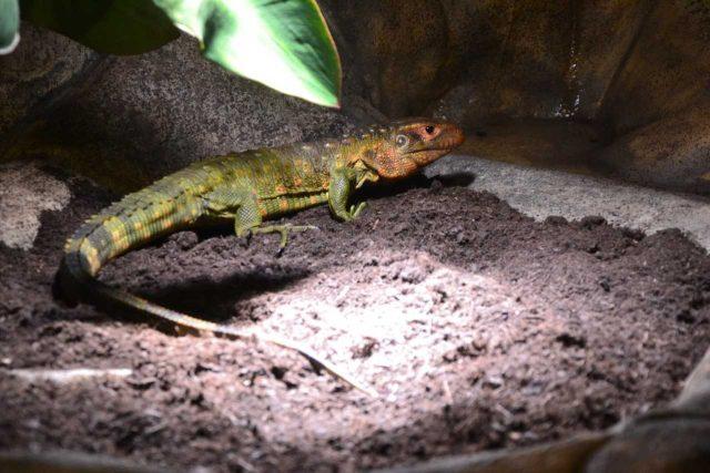 Dracéna krokodýlovitá - nový druh v liberecké zoo