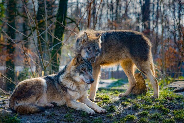 Vlci (ilustrační foto)