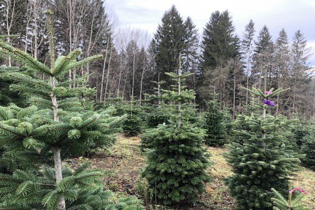 Devítileté stromky na plantáži v Českých Lhoticích