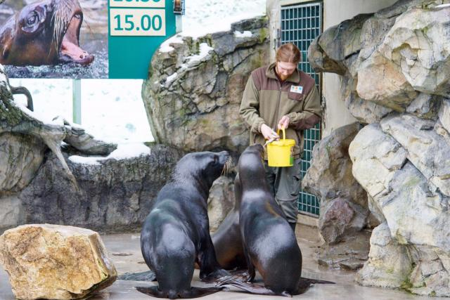Krmení lachtanů hřivnatých v liberecké zoo (ilustr. foto)