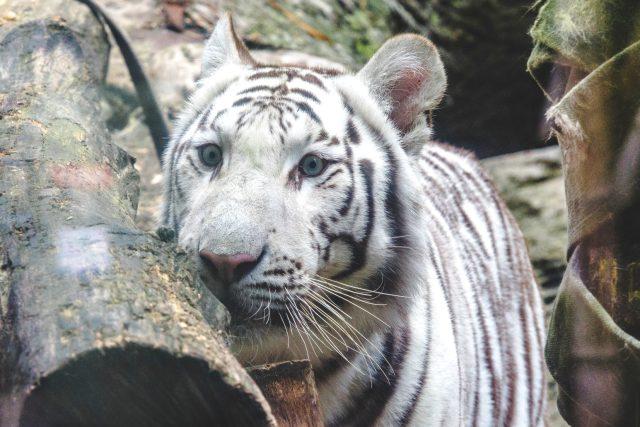 Bílí tygři jsou unikátem liberecké zoologické zahrady | foto: Jaroslav Tomášek