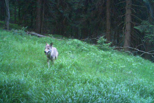 Mladý vlk zapózoval před fotopastí na Rýchorách