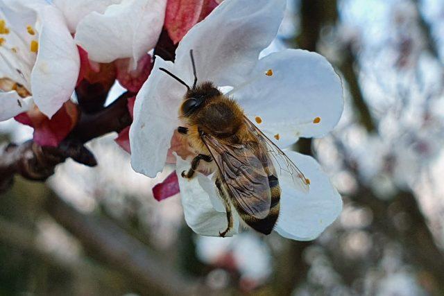 Včely na jaře potřebují hlavně kvetoucí stromy   foto: Roman Verner,  Český rozhlas