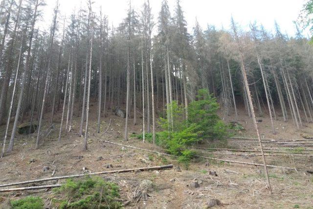 Smrkové monokultury na severu Čech ničí kůrovec. Napadené stromy těží nejvíc v Lužických horách (ilustrační snímek)
