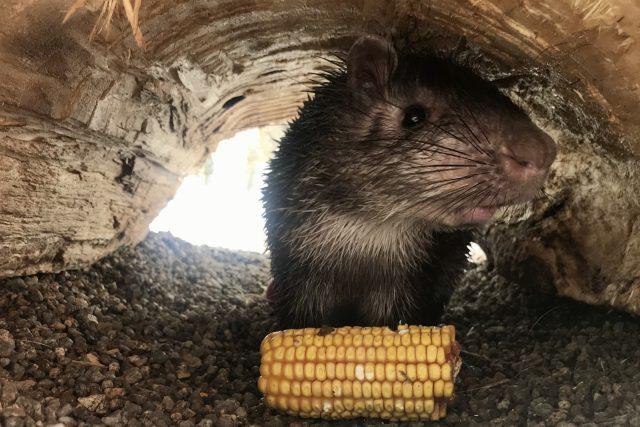 Osinák africký - nový přírůstek v liberecké zoo | foto: Lucie Fürstová,  Český rozhlas