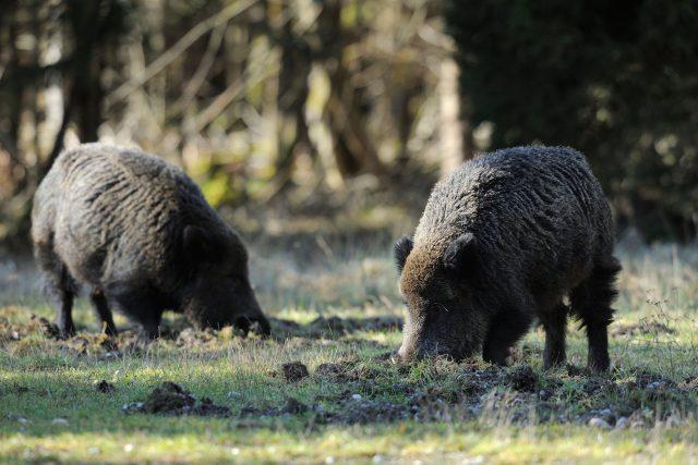 Divoká prasata, divočáci. Ilustrační foto